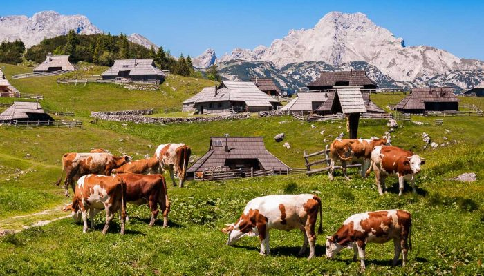 Cows and wooden huts on Velika Planina