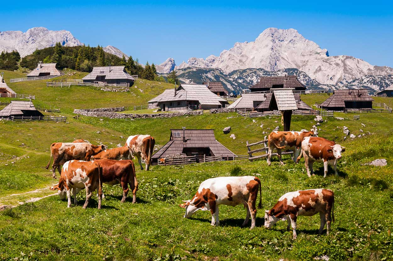Cows by the huts on Velika Planina