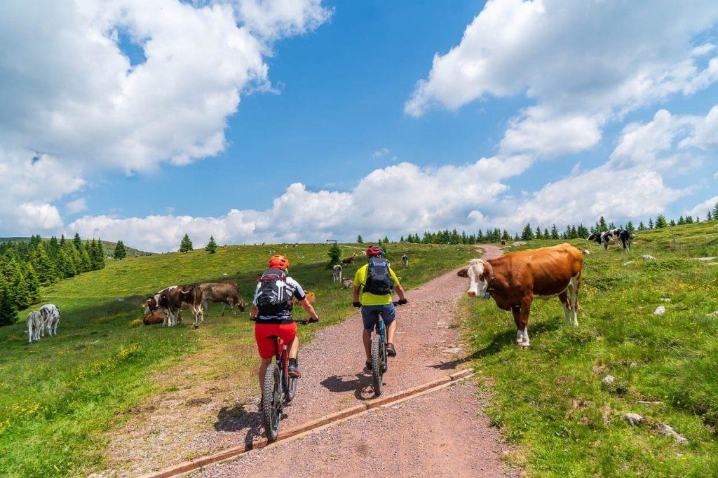 Meeting cows while mountain biking in Pokljuka