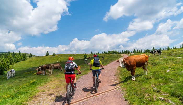 Meeting cows while mountain biking in Pokljuka