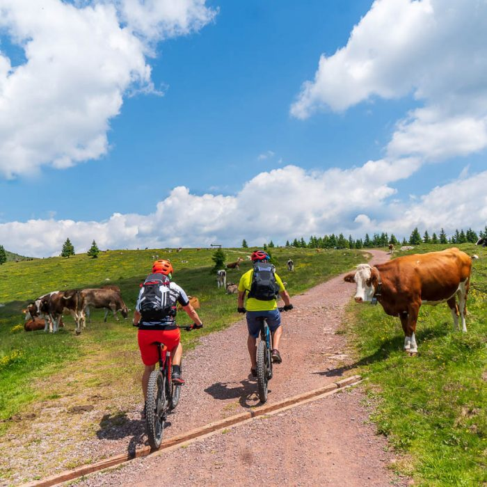 Cyclists meet cows at Pokljuka