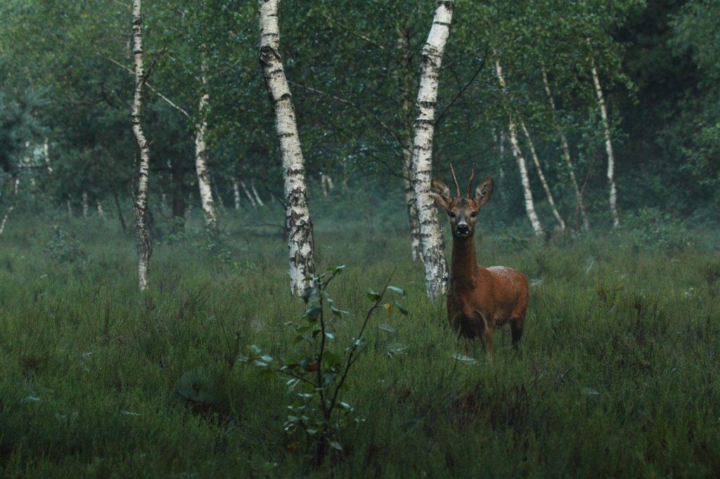 Meeting a deer in woods