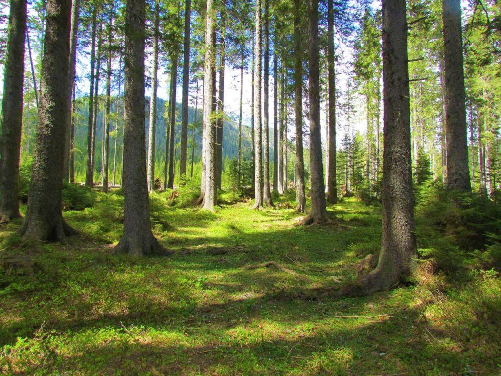 Forests in Pokljuka