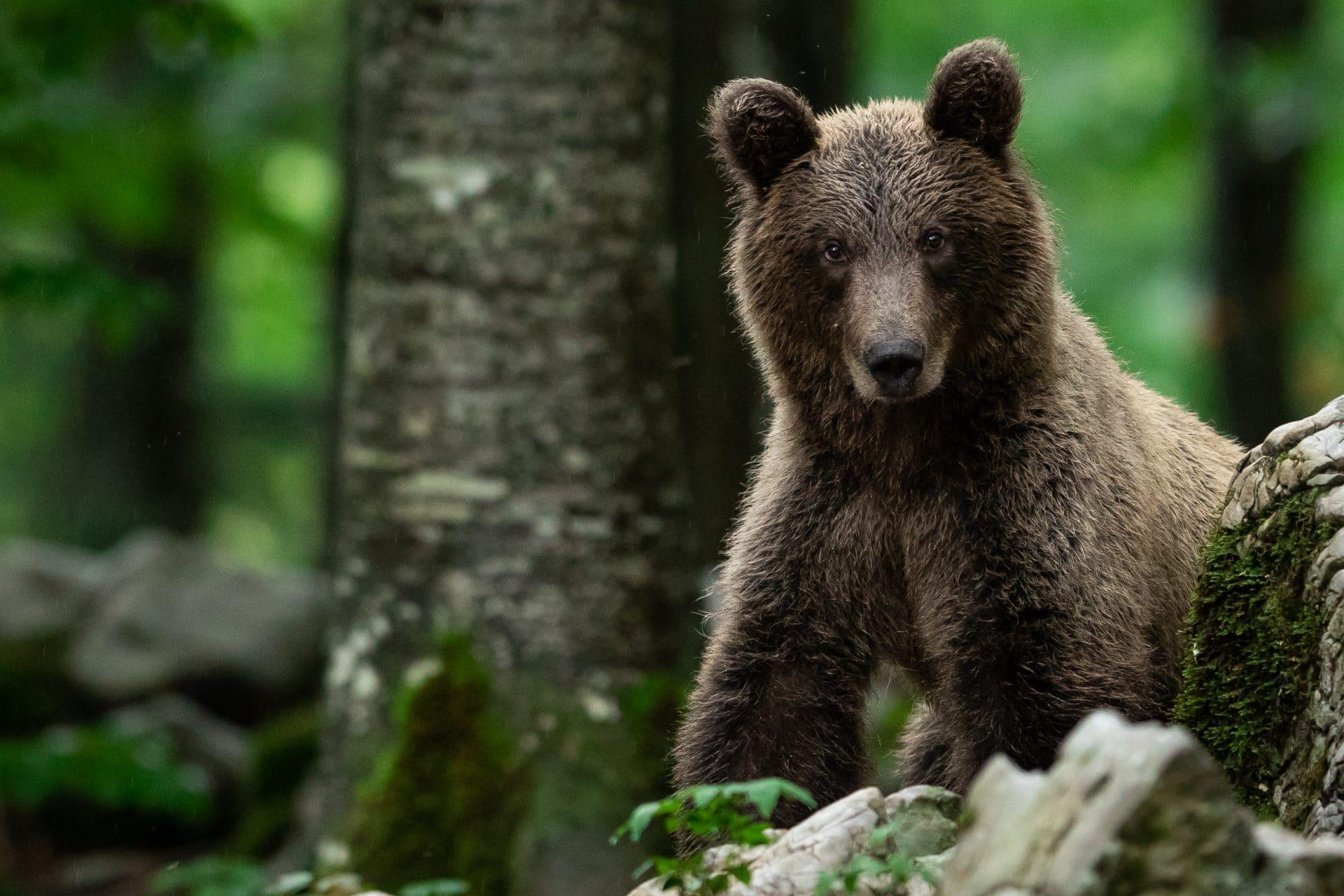 bear-spotting