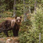 Bear spotting in Slovenia