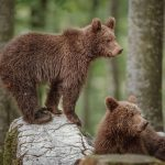 Two brown bear cubs in Slovenia