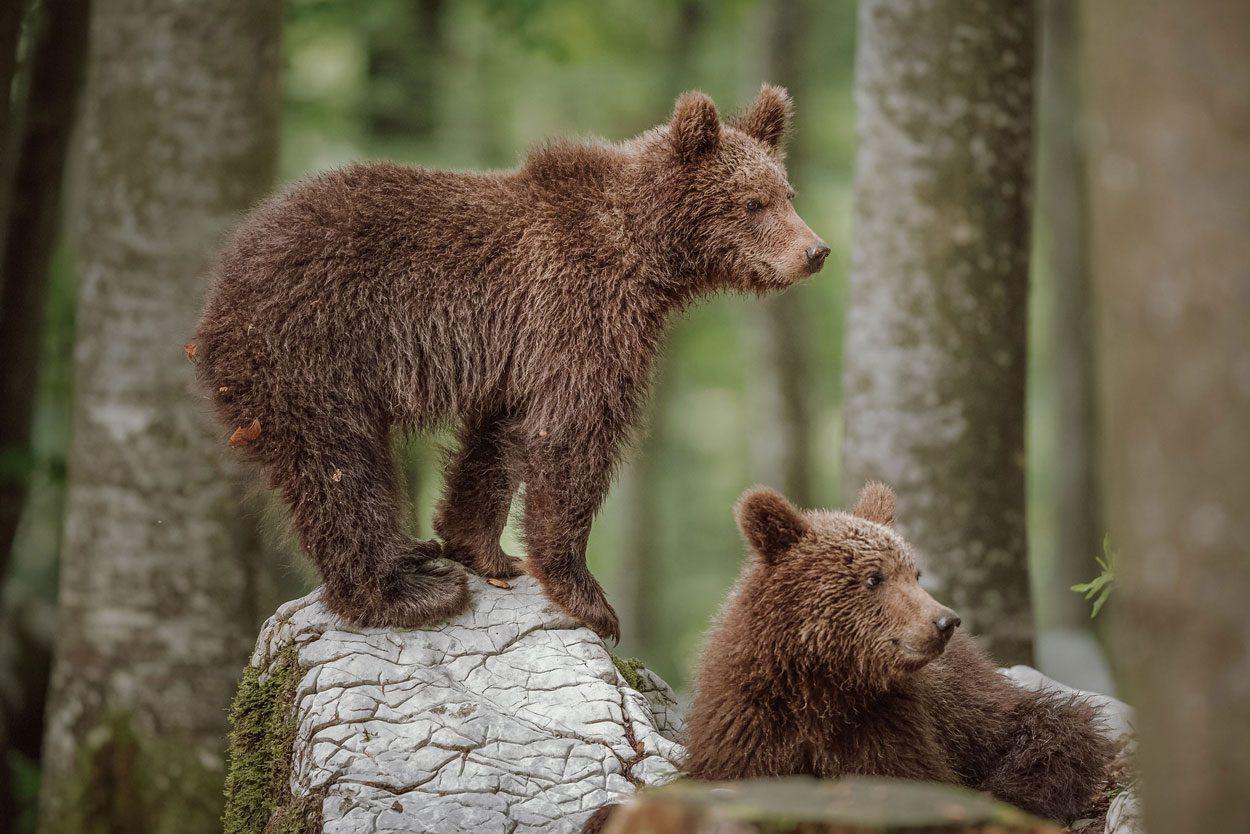 Bear-watching-slovenia