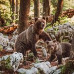 Bear mother and a cub in Slovenia forest