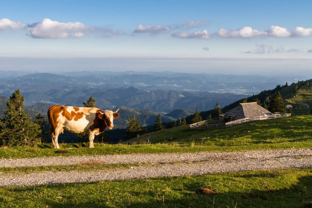 When hiking on Velika Planina you will always meet cows