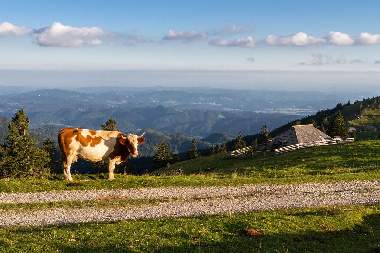 Cow in Velika Planina