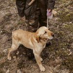 Truffle searching dog in Slovenia