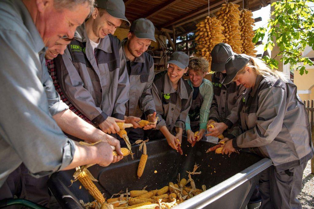 Peeling corn on traditional Slovenian farm