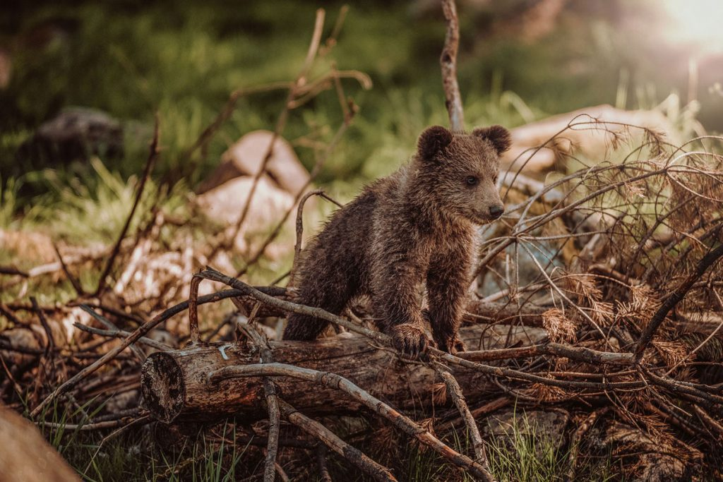 Bear Cub in Slovenia's forest