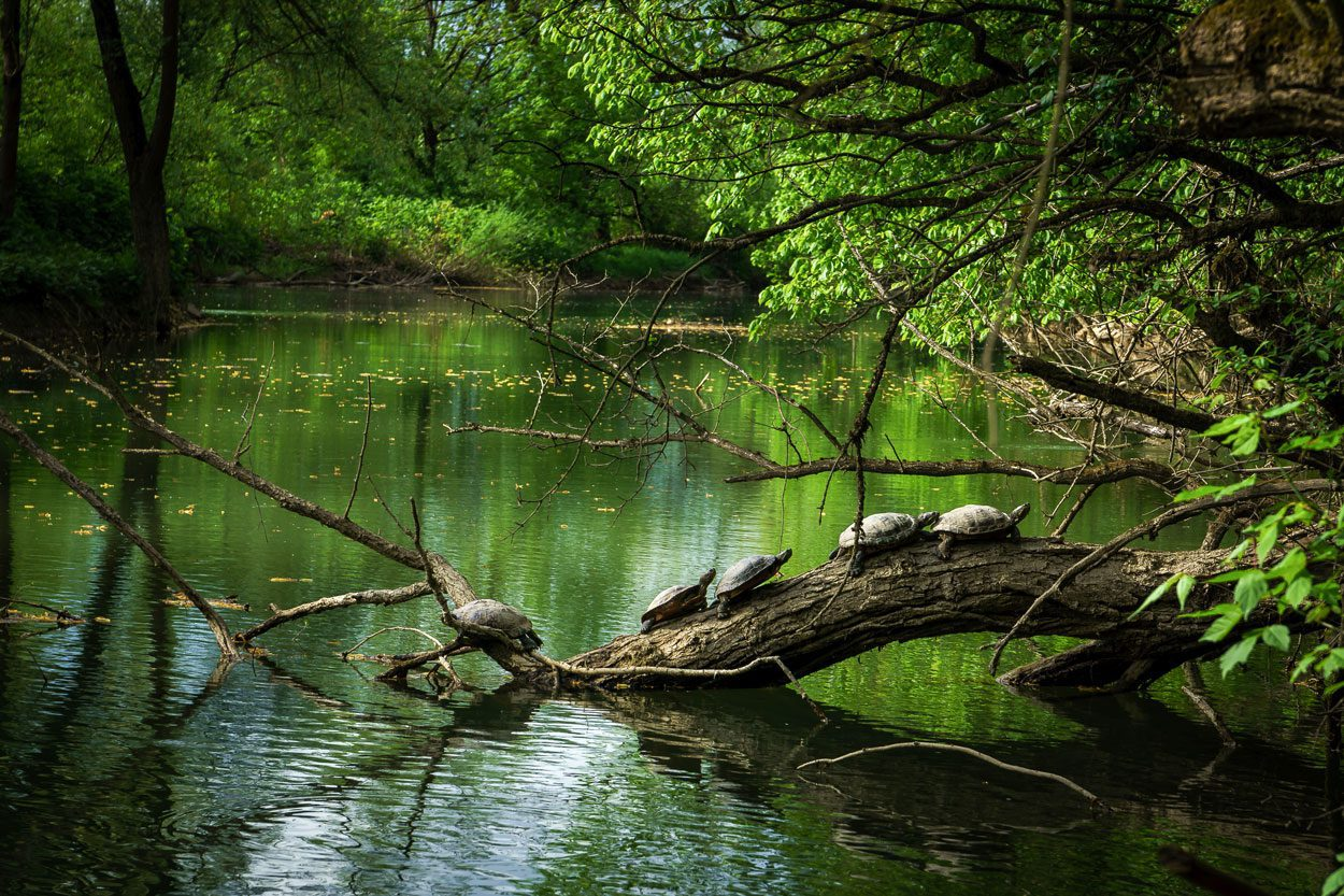 Turtles by the river